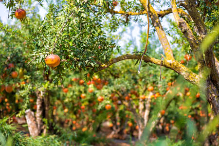 Pomegranate trees with ripe fruit fruits on blurred orchard background. Israel Фото со стока