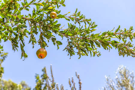 Ripe pomegranate fruits on a branch with leaves against blue sky background Фото со стока