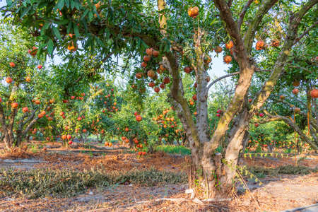 Orchard with pomegranate trees with ripe pomegranates hanging on branches. Israel