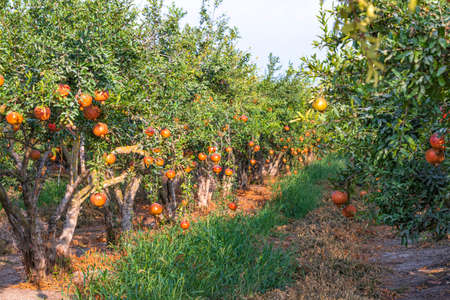 Rows of pomegranate trees with ripe pomegranates hanging on branches in an orchard. Israel
