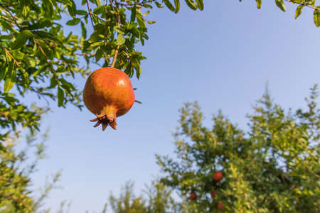 Ripening pomegranate fruits on a branch with leaves against blue sky background Фото со стока