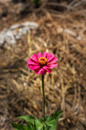 Pink flower of common Zinnia elegans close-up on a blurred background