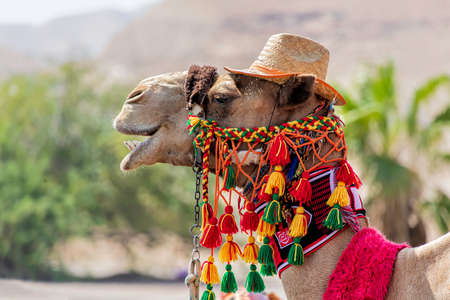 Camel head in festive harness close up on blurred background