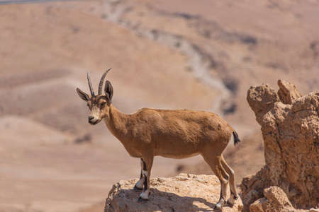 A female Nubian ibex standing on the edge of a cliff against a blurred background of mountains. Israel