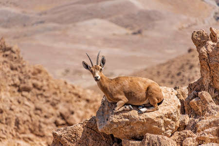 A female Nubian ibex lying on a rock at the edge of a cliff against a blurred background of mountains. Israel Фото со стока