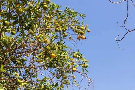 Green unripe fruits of orange tree among foliage on sky background Фото со стока