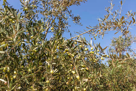 Olive tree branches with unripe fruits closeup against the sky