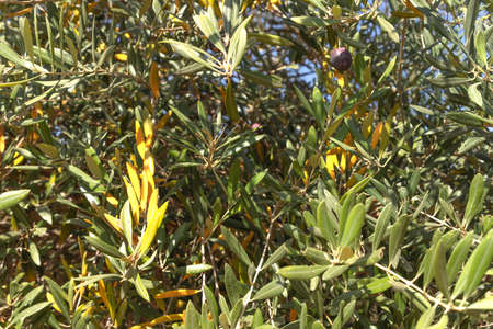 Background of an olive tree foliage with fruits close up