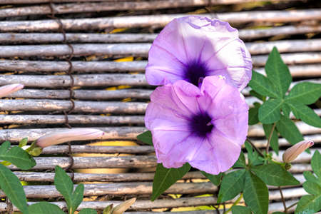 Flowers of Ipomoea cairica perennial plant close-up on blurred bamboo background