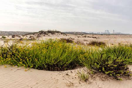Sand dunes with yellow flowers growing on them. Mediterranean coast. Israel Фото со стока