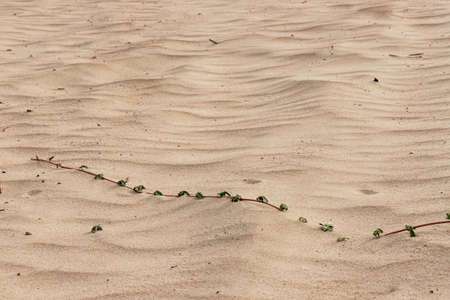 A sprig of a sand plant rooting in the sand close up