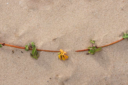 A sprig of a sandy plant rooting in the sand with drops of night dew close up Фото со стока