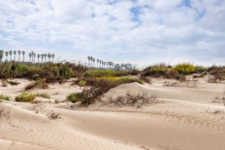 Sand dunes with blooming plants, palms on the horizon against the sky with clouds. Mediterranean coast. Israel