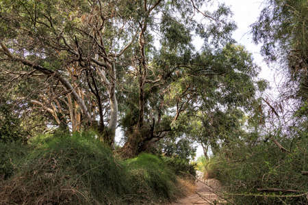 Walking path in the eucalyptus forest between trees in green foliage