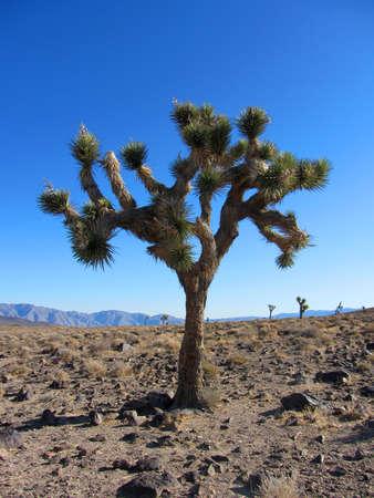 Joshua Tree, Yucca brevifolia, California