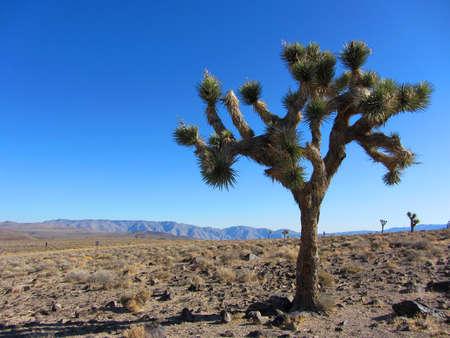 joshua tree national park: Joshua Tree, Yucca brevifolia, California