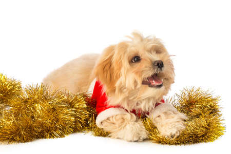 Lovely puppy at Christmas time with Santa Claus clothes