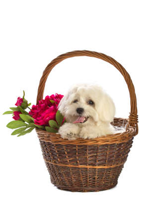 Lovely bichon on white background in basket Stock Photo
