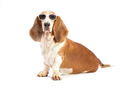 basset: Basset hound with glasses Stock Photo