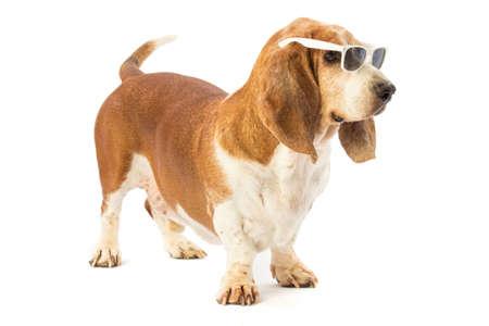 basset: Basset hound with gasses Stock Photo