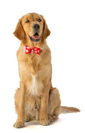 Golden retriever with bow tie Stock Photo