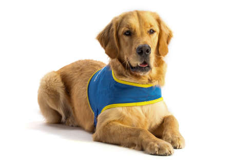 Golden retriever, guide dog