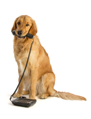 Golden retriever  with phone on white background Stock Photo