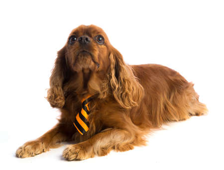 Cavalier King Charles Spaniel with tie on white background
