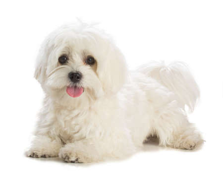 Lovely bichon on white background