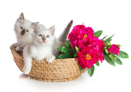 Lovely kitten, sacred Cat of Burma on white background