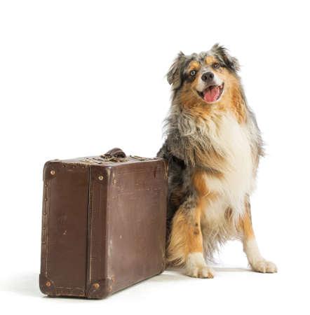 Australian berger berger bleu avec valise sur fond blanc Banque d'images - 93257114