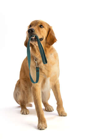 Golden retriever with his leash in his mouth on white background Stock fotó