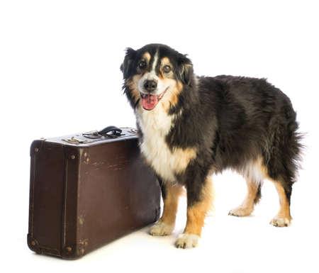 Tricolor berger australien noir avec valise sur fond blanc Banque d'images - 96337811
