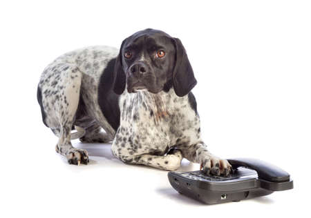 Black and white hunting dog with phone on white background Stock Photo