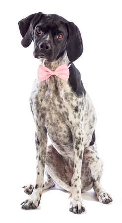 Black and white hunting dog with pink bow tie on white background