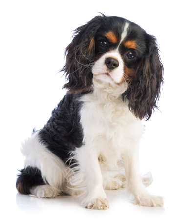 Cavalier king Charles sitting on a white background and looking straight ahead