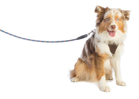 american shepherd seated and leashed with a harness on white background Stok Fotoğraf