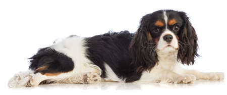 Cavalier King Charles Spaniel lying on a white background and looking straight ahead Imagens