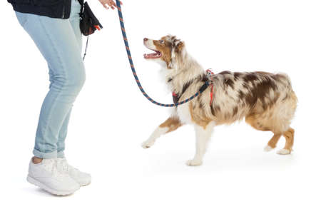 American shepherd leashed with a harness on white background