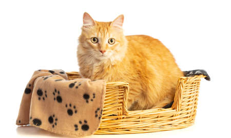 long-haired red cat in a basket with blankets on a white background