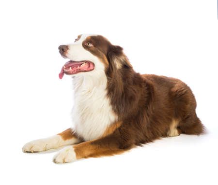 Tricolor red Australian shepherd on white background Banque d'images - 103622591