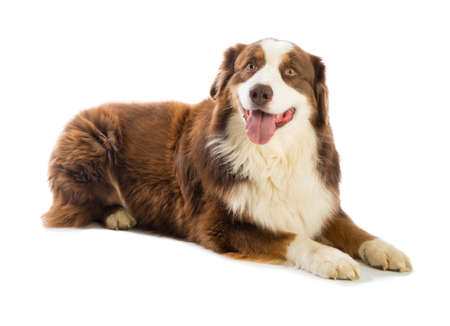 Tricolor red Australian shepherd on white background Banque d'images - 103622593