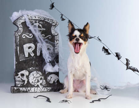 chihuahua that bails to Halloween with tombstone decor on gray gradient background