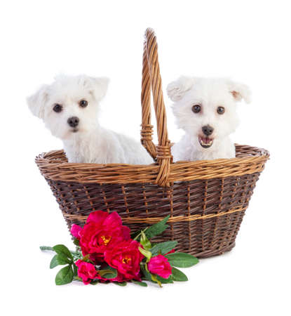 Coton de Tulear and Maltese Bichon in a basket with flowers on a white background