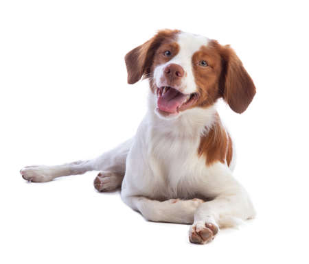 Brittany Spaniel looking with smile on a white background 版權商用圖片