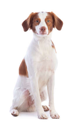 Brittany Spaniel sitting on a white background Imagens