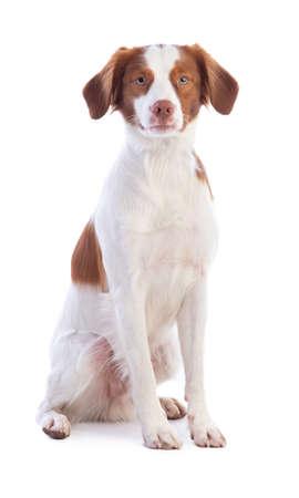 Brittany Spaniel sitting on a white background 版權商用圖片