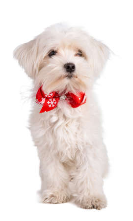 maltese bichon with a bow tie on white background