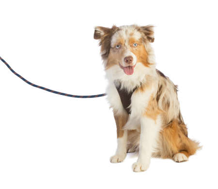 american shepherd seated and leashed with a harness on white background Stock Photo