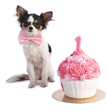 Chihuahua in front of a pink birthday cake on a white background